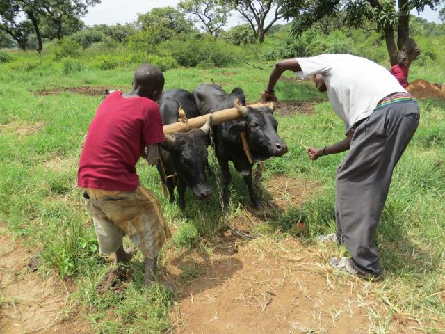 Ox Ploughing
